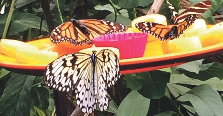 Läuft alles nach Plan, könnten die Schmetterlinge von Icod nach Santiago del Teide umziehen.