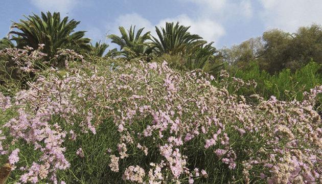 Links: Blühender Meeresflieder im Park Fotos: Cabildo de Gran Canaria