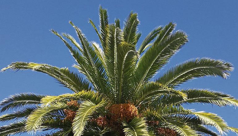 Die Krone einer Kanarischen Dattelpalme Foto: Cabildo La Gomera