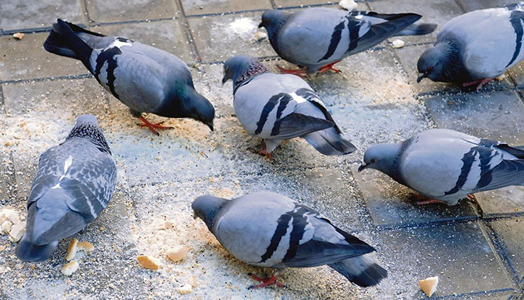 Das Ayuntamiento von La Laguna sucht Wege, um der Taubenplage auf humane Art und Weise Herr zu werden. Foto: efe