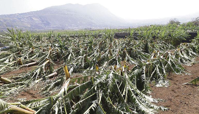 Die Schäden des Sandsturms, der am 22. und 23. Februar auf den Inseln wütete, sind enorm. In Anbaugebieten wie El Rincón in La Orotava Fotos: EFE/Cabildo de Tenerife
