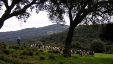 Ein Hirte mit seiner Herde in der Sierra de Cádiz Foto: EFE