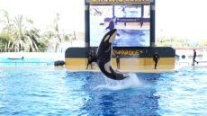 Auch ohne Zuschauer führen Orcas, Delfine, Seelöwen und Papageien täglich mehrmals ihre Übungen durch. Das hält die Tiere geistig und körperlich fit. Foto: Loro Parque