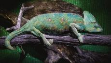 Das Jemenchamäleon zählt zu den exotischen Tierarten, die als invasive Arten eingestuft sind, weil sie die Biodiversität auf den Kanarischen Inseln gefährden. Foto: CAB..TF