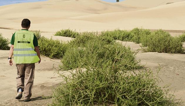 """Miguel Ángel Peña freute sich auch über das Gedeihen der Sträucher der heimischen Art Traganum moquinii, bekannt als """"Balancones"""", die gepflanzt wurden, damit sie den Sand aufhalten und die Entstehung neuer Dünen begünstigen. Foto: Miguel Ángel Peña"""