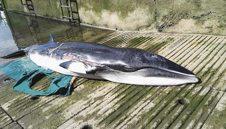 Einer der verendeten Meeressäuger war ein Finnwal. Foto: Cabildo de Tenerife
