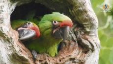10% der Eintrittsgelder im Loro Parque fließen in Naturschutzprojekte der Stiftung Loro Parque Fundación wie zum Beispiel das zusammen mit der Fundación Jocotoco in Ecuador durchgeführte Projekt zur Rettung des Soldatenaras (Ara ambiguus guayaquilensis). Dank dieser Zusammenarbeit konnten in diesem Jahr sechs Exemplare der stark vom Aussterben bedrohten Art ausgewildert werden. Foto: Loro Parque Fundación