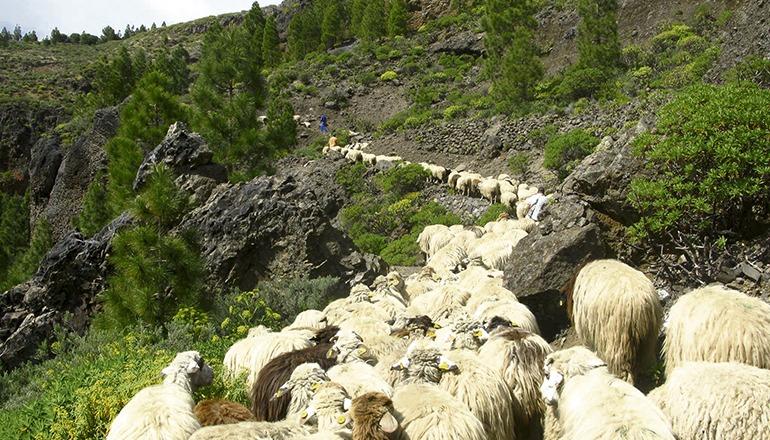Schafe kommen auf Gran Canaria bei der Vorbeugung von Waldbränden zum Einsatz. Foto: Cabildo de Gran Canaria