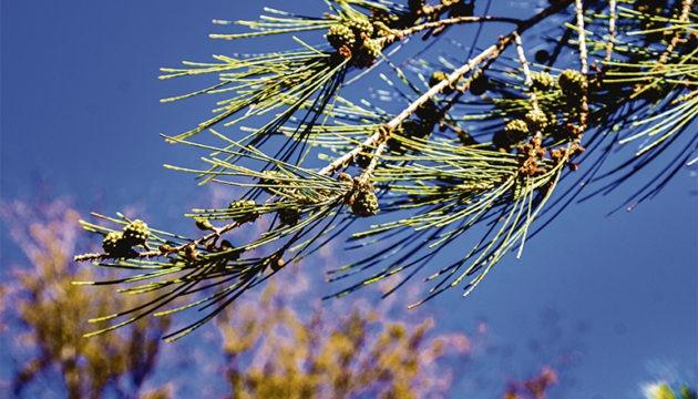 Kleine Kiefer (Casuarina equisetifoliaa)