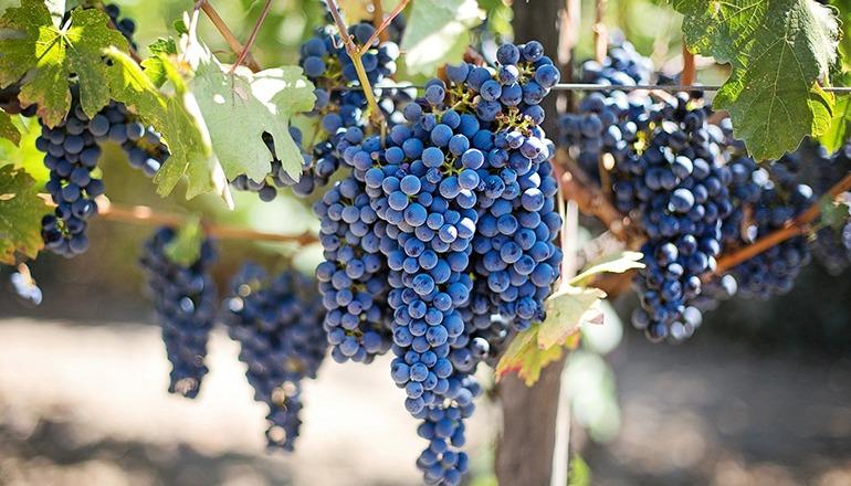 Weinbeere Foto Pixabay