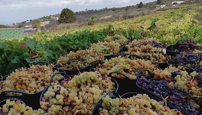 Die Hälfte der 20 Millionen Kilo Trauben, die nach Schätzungen von AVIBO in diesem Jahr geernetet werden könnten, werden vermutlich verloren gehen, weil die Kellereien die Produktion herunterfahren. Foto: AVIBO