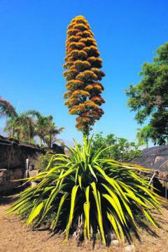 Diese wunderbare exotische Pflanze wurde Ende der 80er-Jahre im Jardín Botánico in Puerto de la Cruz gepflanzt. Foto: Gobierno de Canarias