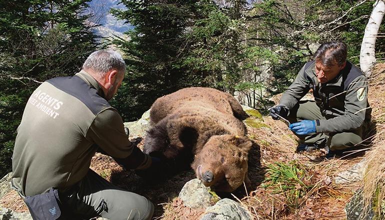 Noch ist unklar, wie der Braunbär Cachou zu Tode gekommen ist. Foto: CONSELH GENERAU D'ARAN