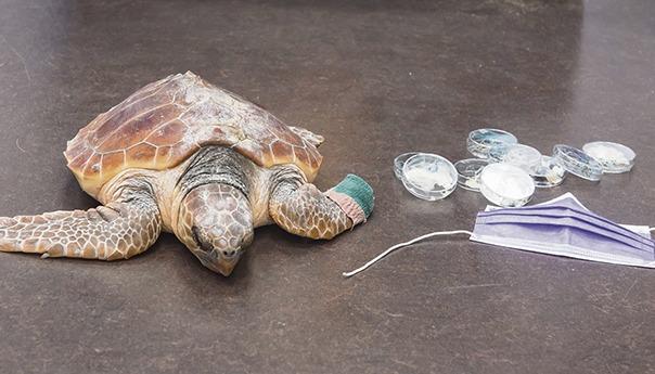 Die kleine Schildkröte der Art Caretta Caretta hatte Glück. Das Plastik konnte aus ihrem Körper entfernt werden, und ein Teil ihrer Flosse konnte gerettet werden. Am 11. Juni wurde sie am Strand von Arinaga zurück in die Freiheit entlassen. Foto: Cabildo de Gran Canaria