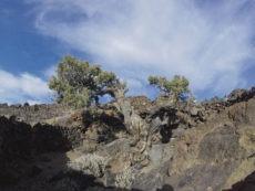 Der Patriarch vom Teide, ein Zedernwacholder, dessen Alter auf über 1.100 Jahre geschätzt wird, ist einer der historischen Bäume, die durch die kommunalen Verordnungen erfasst und geschützt werden sollen. Foto: cabildo de Tenerife