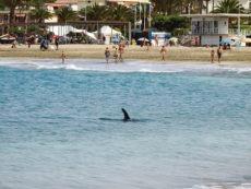Der Delfin kam so nahe an den Strand, dass aus Sicherheitsgründen ein Badeverbot verhängt wurde. Foto: Gobierno de Canarias