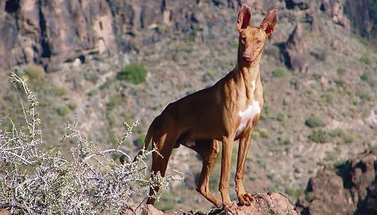 Der Podenco ist der typisch kanarische Jagdhund. Foto: EFE
