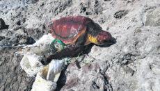 Fischernetze und Bastsäcke werden den Schildkröten oft zum Verhängnis, weil sie sich mit ihren Flossen darin verfangen. Dieses Exemplar hatte Glück und wurde rechtzeitig gefunden. Foto: cabildo de gran canaria