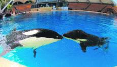 Im Loro Parque auf Teneriffa fand das Orca-Weibchen ein neues Zuhause. Im September 2018 brachte Morgan ihr erstes Junges zur Welt. Foto: Loro Parque