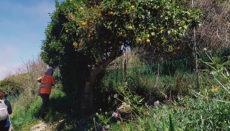 Der Zustand der alten Obstbäume wird analysiert, und es werden Maßnahmen zur Erhaltung der historischen Obstsorten ergriffen. Foto: Cabildo de Tenerife
