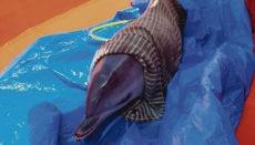 Das Delfin-Jungtier erwies sich als gesund und wurde ins Meer zurückgebracht. Foto: CABLP