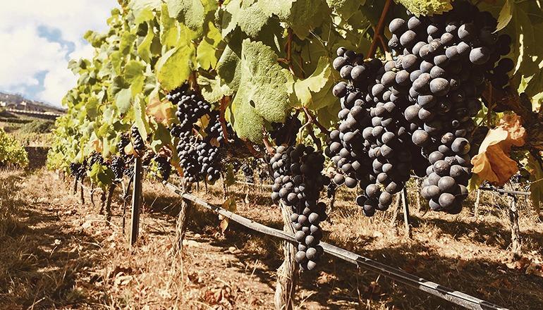 Die Erträge steigen in diesem Jahr in einigen Gebieten um über 40%. Foto: Canary Wine