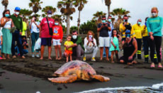 Die 40 Kilo schwere Meeresschildkröte, die an der Playa del Pozo freigelassen wurde, war in zwölf Jahren das größte Exemplar, das im Zentrum für Wildtiere behandelt wurde. Foto: cabildo de gran canaria