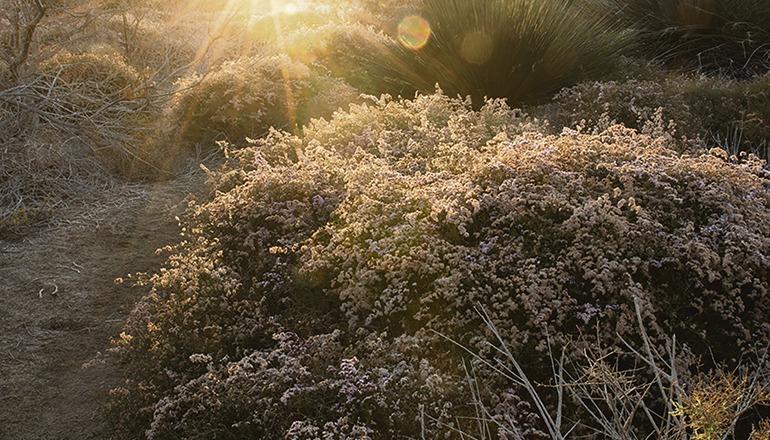 """Knorrige Zweige und sanftrosa Blüten kennzeichnen die nur in Maspalomas und auf der kleinen Insel Lobos vorkommende Strandflieder-Art """"Siempreviva rosada"""". Foto: CabLG"""