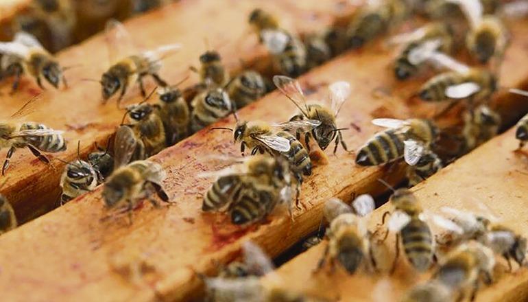 Die Bienenvölker auf La Palma leiden unter der Trockenheit. Foto: CAbildo de La Palma