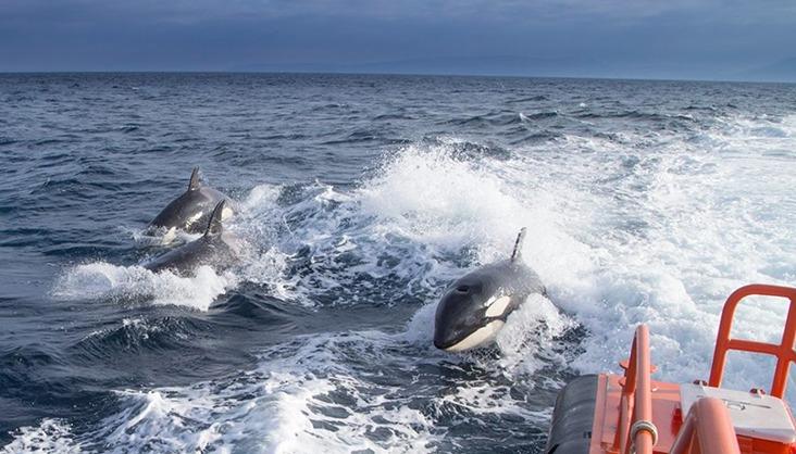 Eine Gruppe von Orcas schwimmt neben einem Schiff der Seenotrettung. Foto: salvamento Marítimo