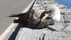 Allein auf Teneriffa wurden im vergangenen Jahr 2.539 verunglückte Jungvögel dieser Art geborgen. 97% davon konnten gesund gepflegt und später wieder freigelassen werden. Foto: Cabildo de La palma