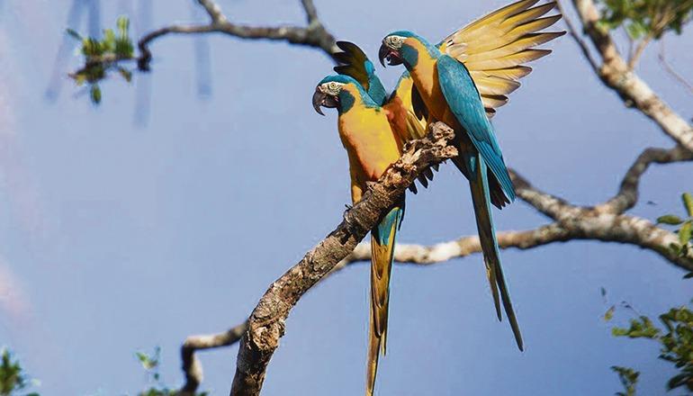 In seiner Heimat Bolivien ist der Blaulatzara stark gefährdet. Der Restbestand dieser großen Papageienart beschränkt sich dort auf wenige Hundert Exemplare. Das Projekt zum Schutz dieser Art und um ihr Überleben zu sichern, wird von der Loro Parque Fundación auch 2021 unterstützt. Foto: loro Parque