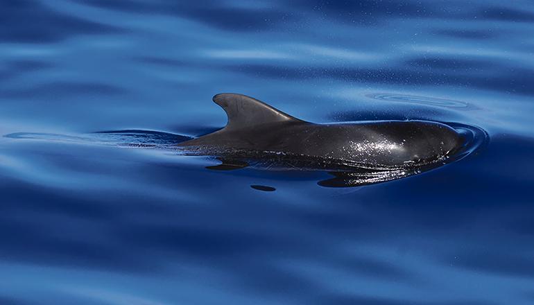 """Auf Teneriffa gibt es zahlreiche Anbieter von sogenanntem """"sanftem Whale Watching"""". Die Sichtung von Walen und Delfinen bei einem Ausflug aufs Meer ist stets ein unvergessliches Urlaubserlebnis. Foto: turismo de Tenerife"""