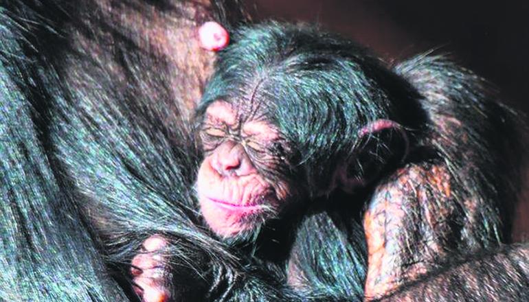 Das Schimpansenjunge verbringt seine ersten Lebenswochen in engstem Kontakt mit der Mutter. Foto: Loto Parque