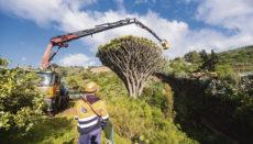 Der Drachenbaum in Pino Santo konnte dank der aufwendigen Behandlung gerettet werden. Foto: Cabildo de Gran Canaria