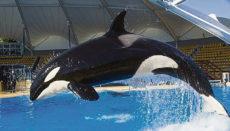 Zusammen mit drei weiteren Orcas kam Skyla vor 15 Jahren aus den USA in den Loro Parque auf Teneriffa. Eine Partnerschaft mit SeaWorld machte es möglich. Foto: loro Parque