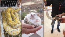Der Helle Tigerpython (Python molurus), der Weißbauchigel (Atelerix albiventris) und die Boa Constrictor wurden in die Obhut der Fundación Neotrópico gegeben. Foto: gobcan