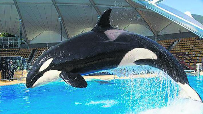 Orca Skyla wurde 17 Jahre alt. Foto: Loro Parque