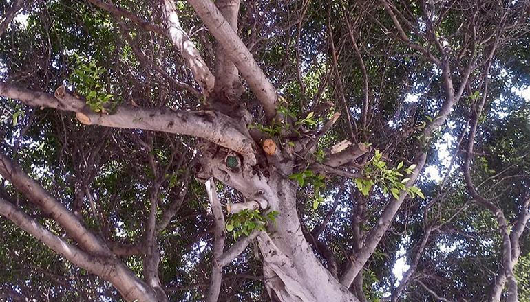 Laurel de Indias/Chinesische Feige (Ficus microcarpa) Foto:WB