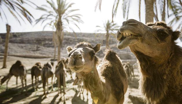 Dromedare im Oasis Wildlife Park auf Fuerteventura. Aus der kleinen Dromedar-Gruppe des Tierparks vor 30 Jahren ist das heute größte Reservat dieser Tierart in Europa geworden. Foto: Oasis Wildlife Fuerteventura