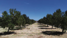 Olivenbäume im Süden von Teneriffa Foto: cabildo de tenerife