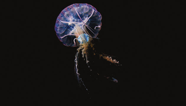 Pelagia noctiluca mit einem Stück blauem Plastik in ihrem Gastralraum. Das Foto entstand im Mai 2020 im Meeresgebiet Sardina del Norte, Gran Canaria. Fotos: alicia herrera ulibarri