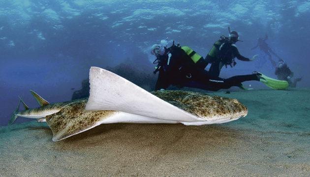 Engelhaie werden maximal 1,50 Meter groß. Da sie sandigen Boden bevorzugen, sind sie oft in Ufernähe am Strand zu finden. Foto: EFE (Universidad de Las Palmas de Gran Canaria)