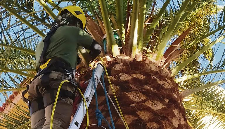 Der Gesundheitszustand einer Palme wird geprüft. Foto: GobCan