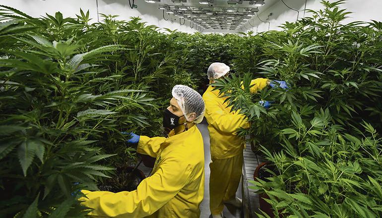 Eine Indoor-Plantage für medizinisches Cannabis Foto: EFE