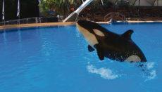 Das Orca-Weibchen erkrankte bereits vor einigen Monaten, erholte sich dann aber wieder. Fotos: loro Parque