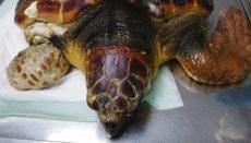 Dem Tier musste aufgrund der schweren Verletzungen eine Flosse amputiert werden. Foto: Cabildo de La Palma