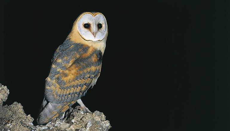 """Die Kanaren-Schleiereule """"Tyto alba gracilirostris"""" ist auf den östlichen Inseln heimisch. Foto: Gobierno de Canarias"""