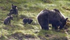 Der Bär als Sehenswürdigkeit: Die Möglichkeit, den Tieren so nahe zu kommen, zieht Besucher aus aller Welt an. Foto: efe